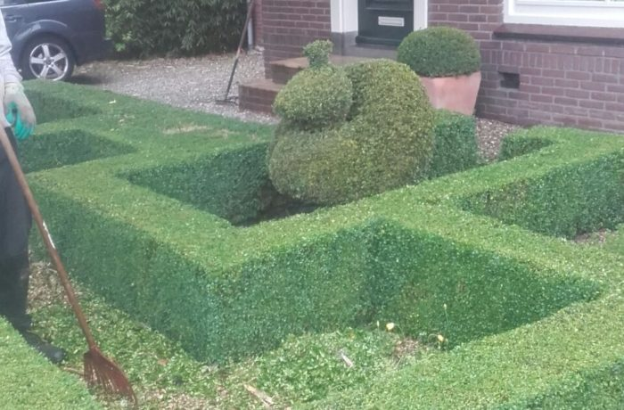 Buxus knippen